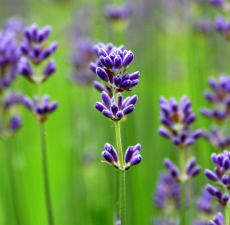 French Lavender